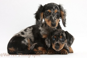 Two tricolour merle Dachshund pups
