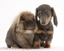 Lionhead-cross rabbit and blue-and-tan Dachshund pup