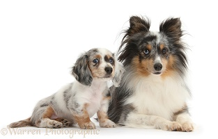 Sheltie and matching Dachshund pup
