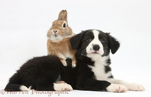 Border Collie pup and Sandy rabbit