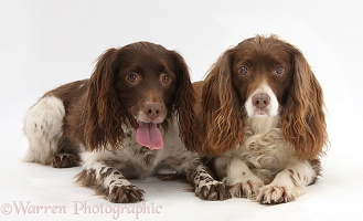 Springer Spaniel bitch and dog