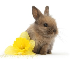 Baby Lionhead-cross rabbit with daffodil flower