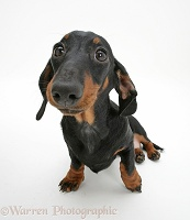 Black-and-tan Miniature Dachshund, sitting and looking up