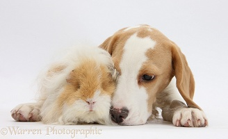 Orange-and-white Beagle pup and alpaca Guinea pig