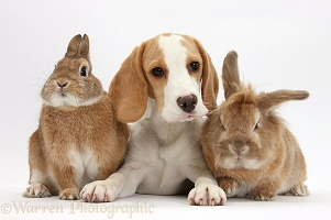 Orange-and-white Beagle pup and two rabbits