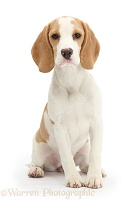 Orange-and-white Beagle pup, sitting
