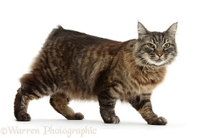 Elderly Tabby Manx-cross cat