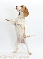 Orange-and-white Beagle pup, standing on hind legs