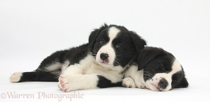 Sleepy black-and-white Border Collie pups, 6 weeks old