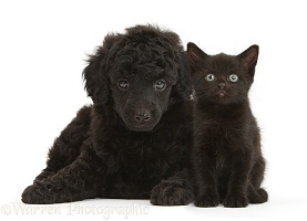 Black Toy Poodle pup, and black kitten, both 7 weeks old