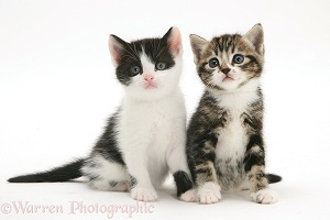 Black-and-white and Tabby-and-white kittens