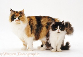 Calico female cat and bicolour kitten