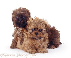 Two Shih-tzu pups, 7�weeks�old