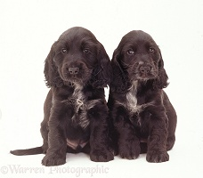Black-and-white Cocker Spaniel pups