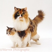 Calico female cat and kitten