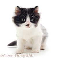 Black-and-white kitten