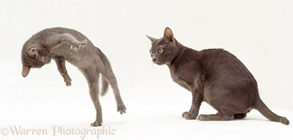 Korat mother cat and playful kitten