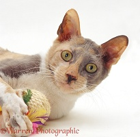 Blue-cream Cornish Rex female cat