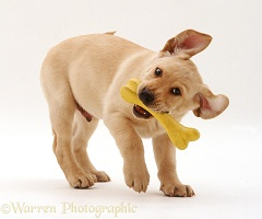Yellow Labrador Retriever pup with toy