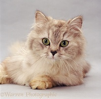Silver tabby longhaired female cat