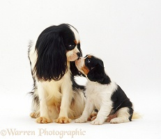 King Charles Spaniel dog and pup