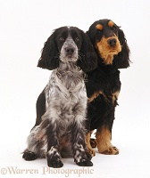 Pair of Cocker Spaniels