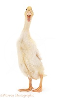 Indian Runner duck, quacking