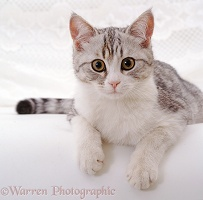 Portrait of silver tabby-and-white cat