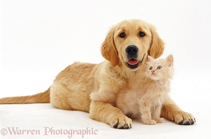 Golden Retriever pup with pale ginger kitten