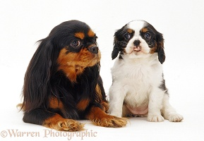 Black-and-tan King Charles and pup