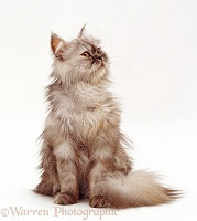 Young Persian cat, sitting
