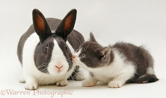 Blue Dutch rabbit and matching kitten