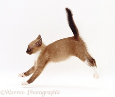 Burmese-cross kitten, playfully running across