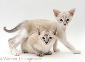 Tonkinese kittens, 6 weeks old