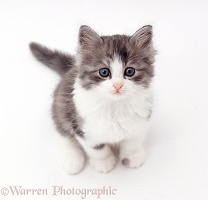 Grey-and-white kitten, sitting and looking up