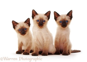 Three Siamese kittens sitting