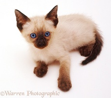 Siamese kitten lying down and looking up