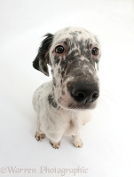 Blue Belton English Setter pup