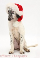 Blue Belton English Setter pup wearing a Santa hat