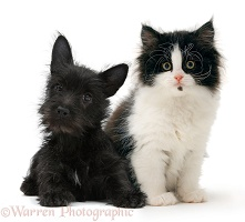 Black Terrier-cross puppy with black-and-white kitten