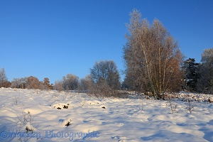Rime-covered birch trees and snow