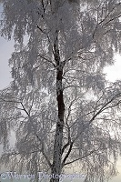 Rime-covered birch tree