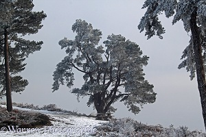 Rime-covered pine trees