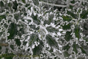 Rime-covered Holly leaves
