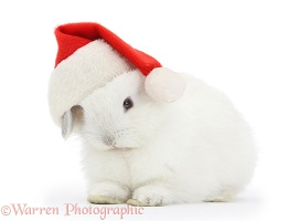 Young white rabbit wearing a Santa hat
