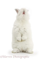 Young white rabbit standing up on its haunches