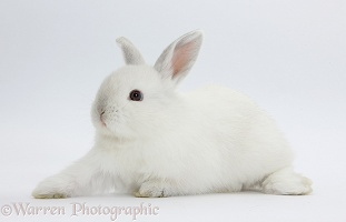 Young white rabbit