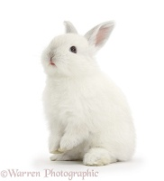 Young white rabbit sitting up on its haunches