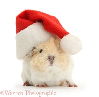 Baby Guinea pig wearing a Santa hat