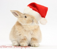 Young Sandy rabbit wearing a Santa hat
